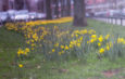 Eindhoven Through Charise's Eyes – Daffodils