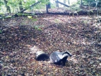 Badger leaving wildlife tunnel installed within the MJPO project.