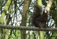 Squirrel using a tree bridge installed in Flanders.