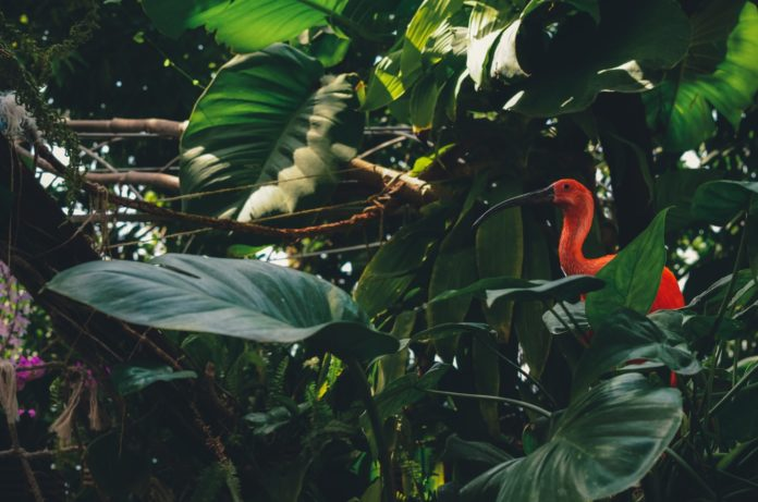 Increase in Red Ibis