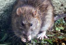 Rat menace in Veldhoven