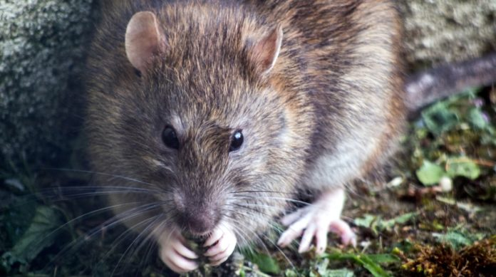 Rat menace in Veldhoven