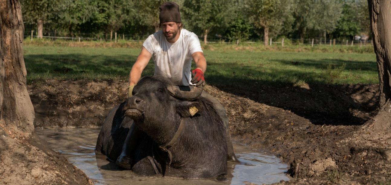 de stoerderij - water buffalo2 - free use