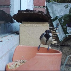great tit eating seeds