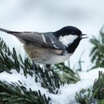 coal tit with seed in snow