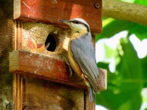 nuthatch in nest box