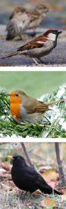 sparrow & robin & blackbird