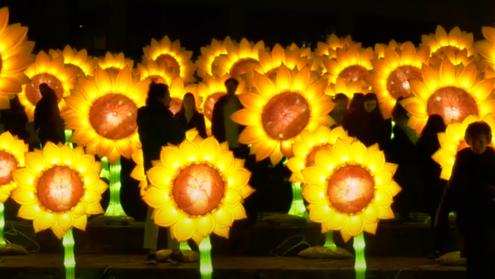 illuminated sunflowers
